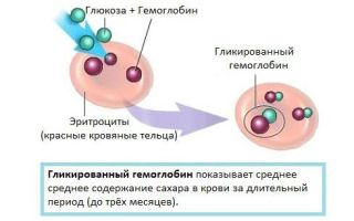 Гликированный гемоглобин — как сдать анализ и о чем расскажут результаты